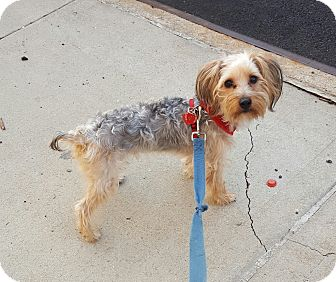 Yorkie, Yorkshire Terrier Mix Puppy for adoption in Bronx, New York - BamBam
