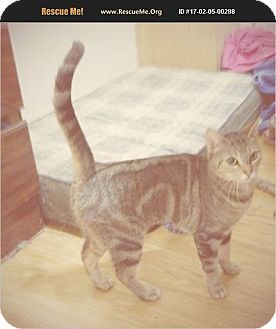 Bengal Cat for adoption in Madison, Tennessee - Tidy -friendly