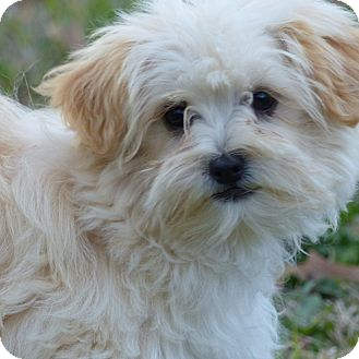 Maltese/Poodle (Toy or Tea Cup) Mix Dog for adoption in Anderson, South Carolina - Cheyenne