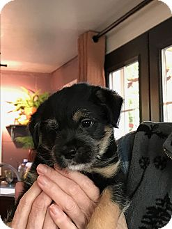 Terrier (Unknown Type, Small)/Chihuahua Mix Puppy for adoption in Camas, Washington - Baxter