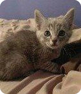 Domestic Shorthair Kitten for adoption in Hampton, Virginia - TOT