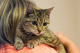 Domestic Shorthair Cat for adoption in Knoxville, Tennessee - Autumn