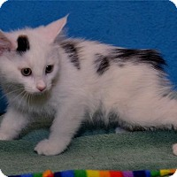 Adopt A Pet :: Braveheart - Lenexa, KS