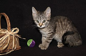 Domestic Shorthair Kitten for adoption in Marietta, Ohio - Tito