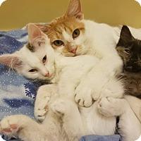 Domestic Shorthair Kitten for adoption in Braidwood, Illinois - Jasper