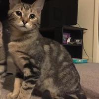 Adopt A Pet :: Spock - Gainesville, FL