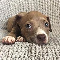 Adopt A Pet :: Cardamom - santa monica, CA