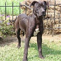 Adopt A Pet :: Rocket - Westminster, MD