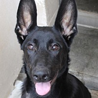 Adopt A Pet :: NITRO:Low fees/Neutered - Red Bluff, CA