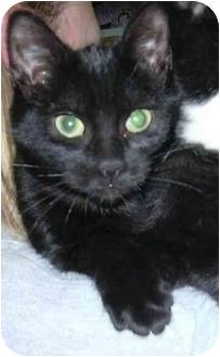 Domestic Shorthair Kitten for adoption in West Warwick, Rhode Island - Jada