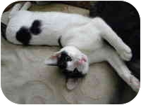 Domestic Shorthair Cat for adoption in Tampa, Florida - Cactus
