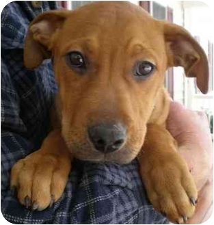 American Pit Bull Terrier/Hound (Unknown Type) Mix Puppy for adoption in Front Royal, Virginia - Bryce