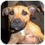 Photo 1 - Rhodesian Ridgeback/American Bulldog Mix Puppy for adoption in Burbank, California - LULU