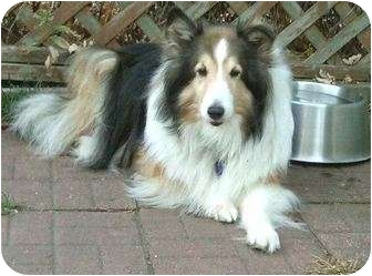 Sheltie, Shetland Sheepdog Dog for adoption in Circle Pines, Minnesota - Lady - was lost now SAFE!
