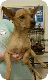 Chihuahua Mix Dog for adoption in Tucson, Arizona - Willie