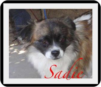 Corgi/Pekingese Mix Dog for adoption in Escondido, California - Sadie