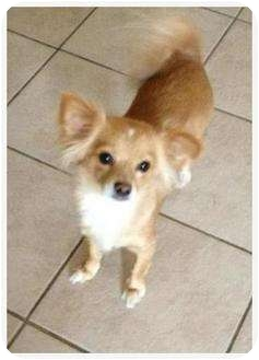 Chihuahua Mix Dog for adoption in Lake Forest, California - Sandy
