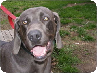 Weimaraner Dog for adoption in Toledo, Ohio - JAKE~JoggingPartner