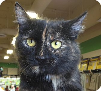 Domestic Mediumhair Kitten for adoption in Chandler, Arizona - Whiskey