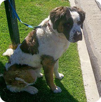 St. Bernard Dog for adoption in Lake Forest, California - Olaf