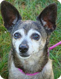 Chihuahua Mix Dog for adoption in Red Bluff, California - Lucy-$45 Adoption Fee
