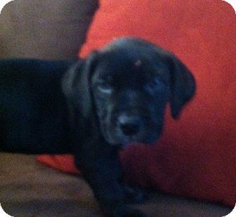 Labrador Retriever Mix Puppy for adoption in Nuevo, California - Mackey