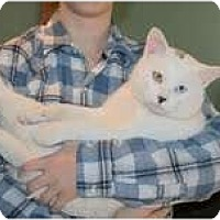 Adopt A Pet :: Frosty (bi-colored eyes) - Arlington, VA
