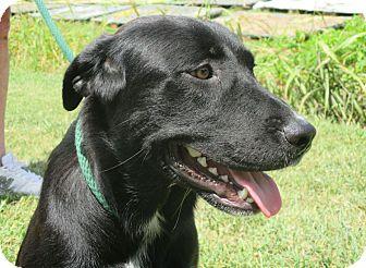 Labrador Retriever Mix Dog for adoption in Bedminster, New Jersey - BRUCE