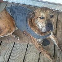 Adopt A Pet :: Bogie - Blanchard, OK
