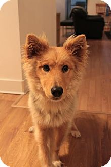 Collie/Shepherd (Unknown Type) Mix Dog for adoption in Vancouver, British Columbia - Simba