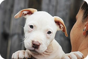 American Pit Bull Terrier Mix Puppy for adoption in Reisterstown, Maryland - Storm