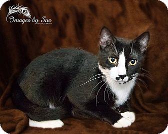 Domestic Shorthair Cat for adoption in O Fallon, Illinois - Moe