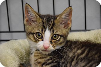 Domestic Shorthair Kitten for adoption in Highland Park, New Jersey - GORCEY JESSE