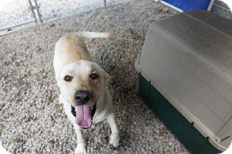 Labrador Retriever Mix Dog for adoption in Henderson, North Carolina - Vans