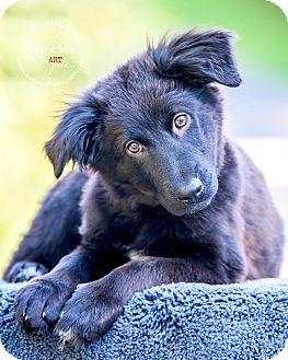 Newfoundland/Border Collie Mix Puppy for adoption in Cincinnati, Ohio - Wednesday