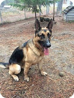 German Shepherd Dog Dog for adoption in Libby, Montana - Oscar