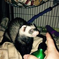 Adopt A Pet :: Badger - Navarre, FL