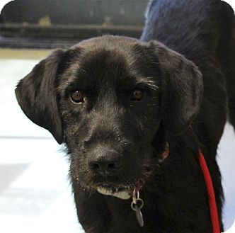 Labrador Retriever Mix Dog for adoption in Phoenix, Arizona - Bubbles