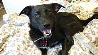 Border Collie/Labrador Retriever Mix Dog for adoption in Alhambra, California - Lillah