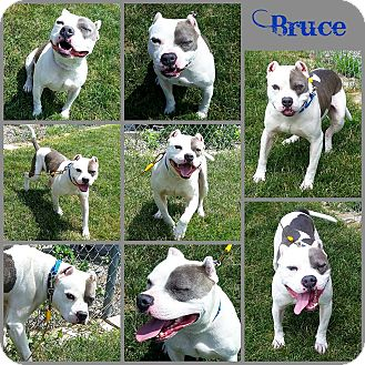 Pit Bull Terrier Mix Dog for adoption in Joliet, Illinois - Bruce