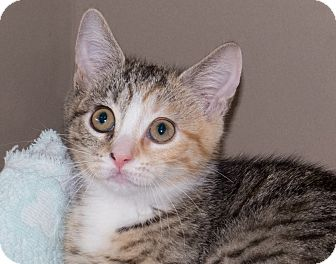 Domestic Shorthair Kitten for adoption in Elmwood Park, New Jersey - Luna