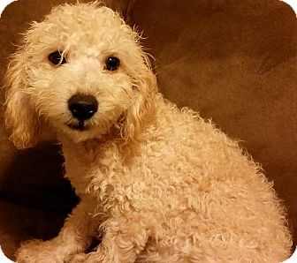Poodle (Miniature)/Maltese Mix Puppy for adoption in Hammonton, New Jersey - doodle