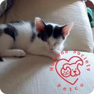 Domestic Shorthair Kitten for adoption in Janesville, Wisconsin - Mani