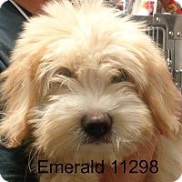 Adopt A Pet :: Emerald - Greencastle, NC