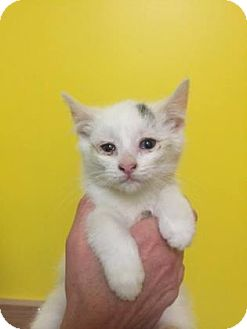 Domestic Shorthair Kitten for adoption in Adrian, Michigan - Drogo