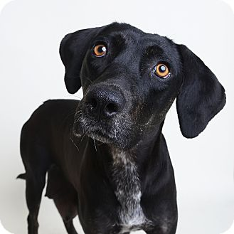 Plott Hound/Labrador Retriever Mix Dog for adoption in Wilmington, Delaware - Octavia