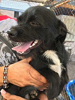 Terrier (Unknown Type, Small)/Chihuahua Mix Dog for adoption in San Ramon, California - Bein