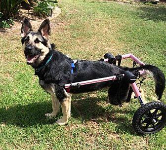 German Shepherd Dog Dog for adoption in San Diego, California - Clover