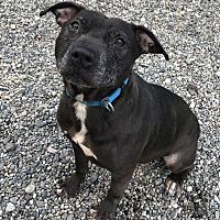 Adopt A Pet :: TINY SADIE! - Auburn, WA