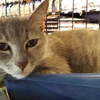 Adopt A Pet :: Amelia - Greensboro, NC